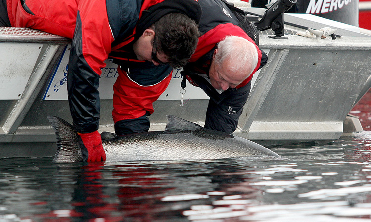 Colin Ramsden catches (and releases) a huge Chinook Salmon